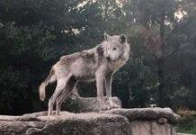 Chico el lobo mexicano